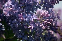 Lilacs Blooming In Front Yard 018 (Chrisser) Tags: flowers lilacs shrubs syringavulgaris oleaceae nature ontario canada canoneosrebelt6i canonef75300mmf456iiiusmlens gardening garden fourseasons spring closeups