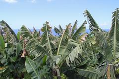 Café Vista Paraíso 01.05.2018 (pilot_micha) Tags: 01052018 banane bananenpflanze insel mai2018 pflanze spanien tenerife teneriffa urlaub wanderung holiday island plant spain walking laorotava canarias es