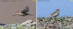 (Species #1246) Little Bunting  - [ Nogoon Nuura, Ulaanbaatar, Mongolia ] (tinyfishy's World Birds-In-Flight) Tags: little bunting mongolia