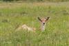 Taking a rest (Leo Kramp) Tags: 2018 zoogdieren dieren loweproflipside300awii flickr natuurfotografie accessoires damhert deer waterleidingduinen