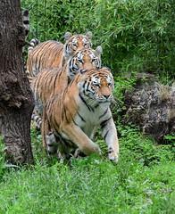Im Dreierpack (sigridspringer) Tags: tiere säugetiere raubtiere raubkatzen sibirische tiger arila makar duisburger zoo hanks
