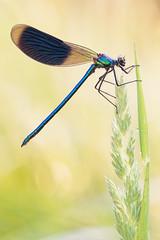 Calopteryx splendens (Prajzner) Tags: bandeddemoiselle odonata damselfly calopteryxsplendens sigma105mmmacro nikond7100 novoflexcastelxqii nature focusstacking macro