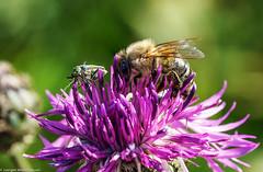 Botanischer Garten - Seite an Seite (J.Weyerhäuser) Tags: biene botanischergarten tropfen blumen käfer nektar sammeln bug bee