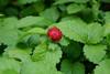 Bright red berry in the Jardin-forêt de la Bibliothèque nationale de France (Monceau) Tags: bright red berry bnf bibliothèquenationaledefrance mitterand jardin forêt