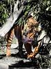 male Sumatran tiger (greyloch) Tags: nationalzoo tiger animal cats pantheratigrissumatrae 2013 sumatrantiger canonrebelt3i niksoftware silverefex washingtondc smithsonian