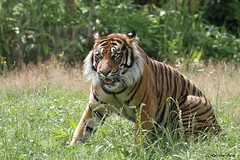 Tigre de Sumatra_TARU (Passion Animaux & Photos) Tags: tigre sumatra sumatran tiger panthera tigris persica zoo pal france