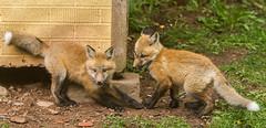 IMGL1465 Pugwash Red Fox Kit(s) (Wallace River) Tags: foxes novascotia pugwashfoxes redfoxes