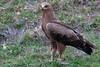 Steppe Eagle, Aquila nipalensis (Mustafa Kasapoglu) Tags: birds birdphotography bird birdwatching birding blackandwhite eagle steppeeagle aquilanipalensis