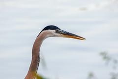 Great Blue Heron (Martin (fuxl) Fuchs) Tags: birds heron greatblueheron bombayhook smyrna delaware unitedstates us