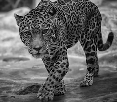 Jaguar (Panthera onca) (Southern Darlin') Tags: jaguar feline cat bigcat panthera onca animal animals wild wildlife yaguareté hunter predator bw blackandwhite bnw black white naturephotography nature photo photography