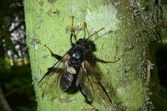 Birch Sawfly. (1 of 5) (Steviethewaspwhisperer) Tags: cimbexfemoratus cimbex femoratus birchsawfly birch sawfly crombie crombiecountrypark