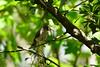 DSC00889.jpg (joe.spandrusyszyn) Tags: tuftedtitmouse orlando titmouse baeolophus vertebrate nature animal shinglecreekregionalpark songbird unitedstatesofamerica passeri bird florida shinglecreek paridae perchingbird byjoespandrusyszyn baeolophusbicolor passeriformes