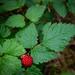 A rare salmonberry