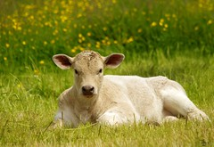 cow calf in a field of butter cups  (1) (Simon Dell Photography) Tags: calf cow baby cattle field butter cups yellow grass castleton derbyshire peak district views nature landscapes simon dell photography 2018 summer countryside