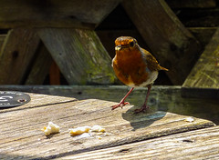 Lunching with Cock Robin (Geordie_Snapper) Tags: boscastlevillagecentre cornwall holidayboscastle june lumuxcamera robin summer sunny wildlife
