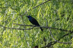 above the oriole, near the nest (long.fanger) Tags: centreville virginia grackle orchardorioleicterusspurius utilityeasementarea