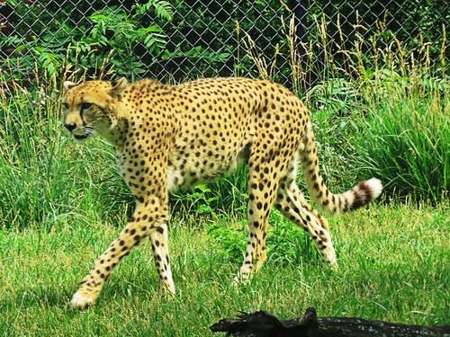A Cheetah on the prowl @ #IndianapolisZoo.