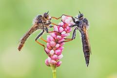 Machimus sp. (Prajzner) Tags: machimus robberfly fly macro nature nikond7100 naturallight sigma105mmmacro nikon novoflexcastelxqii berlebach focusstacking