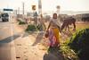Alfalfa Sellers (*trevor) Tags: alfalfa asia feed fujifilm india pushkar sellers travelphotography xt2 cattle road