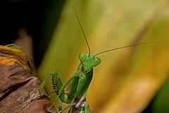 Hierodula grandis - the Giant Indian Mantis (BugsAlive) Tags: mantis prayingmantis mante gottesanbeterin mantide ตั๊กแตนตำข้าว богомол peygamberdevesi bönsyrsa conbọngựa animal outdoor insects insect mantodea macro nature mantidae hierodulagrandis giantindianmantis mantinae wildlife doiinthanon chiangmai liveinsects thailand nikon105mm bugsalive