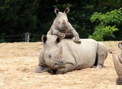White Rhino Burgerszoo JN6A6476 (j.a.kok) Tags: rhino rhinoceros rhinocerosunicornis whiterhino witteneushoorn neushoorn breedlipneushoorn burgerszoo animal africa afrika mammal zoogdier dier herbivore