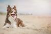 C43 (SitStayCaptureTheNorthEastDogPhotographer) Tags: dog photographer dogphotographer northeastdogphotographer sitstaycapture northeast druridgebay dogsrunning nikond4s rebeccaashworthphotography