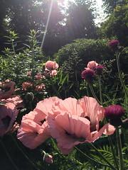 Poppies and Thistles (markshephard800) Tags: trees arbres flower sunlight sunlit garten jardin jardim tuin giardino bloemen blumen blooms poppies thistles fiori flores flora fleurs lights shadows