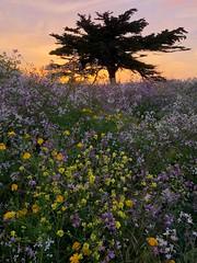 Coastside (patia) Tags: coastside cypress flowers ocean tree