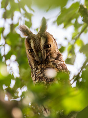 Owl in the leaves (loddeur) Tags: uil friesland ransuil longearedowl asiootus leaves branch perch daylight feathers green bird vogel wild