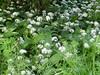 Wild Garlic, Caledonian Canal, Inverness, May 2018 (allanmaciver) Tags: wild garlic inverness caledonian canal smell scotland highlands plant shade allanmaciver