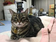 Tigger's Kindness (sjrankin) Tags: japan hokkaido yubari futonbedroom blanket closeup tigger cat animal edited 19june2018