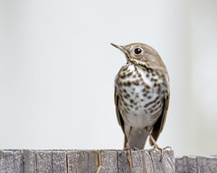 Sociable Hermit (opheliosnaps) Tags: fence nature outdoors wild little brown spreckled breast speckled white bokeh wood board catharus guttatus hermit thrush santa rosa california sonoma county usa