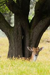 Hello there (Leo Kramp) Tags: 2018 zoogdieren dieren loweproflipside300awii flickr natuurfotografie accessoires damhert deer waterleidingduinen leo kramp leokramp wwwleokrampfotografienl leokrampfotografie