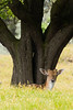 Hello there (Leo Kramp) Tags: 2018 zoogdieren dieren loweproflipside300awii flickr natuurfotografie accessoires damhert deer waterleidingduinen