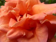 My rose!!  P1040931 (amalia_mar) Tags: 7dwf flora flowers fiori fleur macro color rose sundaylights macromademoiselle