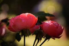 rosée et roses (guy dhotel) Tags: fleur rose rosée flower