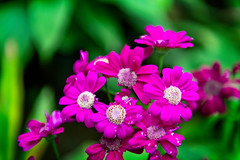 Flower of Sikkim (CamelKW) Tags: sikkimindia2018 gangtok sikkim india in