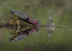 Splash back :-) (tsandra996) Tags: green heron nature water splash bird feathers fishing