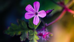 Flower - 5256 (YᗩSᗰIᘉᗴ HᗴᘉS +17 000 000 thx) Tags: purple flower macro light nature hensyasmine namur belgium europa aaa namuroise look photo friends be wow yasminehens interest intersting eu fr greatphotographers lanamuroise tellmeastory flickering