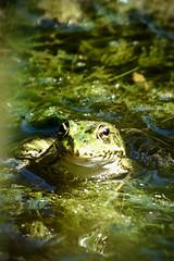 Grenouille à la mine patibulaire (thierrybalint) Tags: grenouille batracien water mare bassin basin nikon nikoniste marseille jardinbotanique faune parcborély parc borély