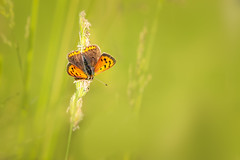 Small copper butterfly (chrissmithphotos1) Tags: lycaenaphlaeas smallcopper beautiful beauty butterfly closeup flower insect macro nature nobody summer wildlife