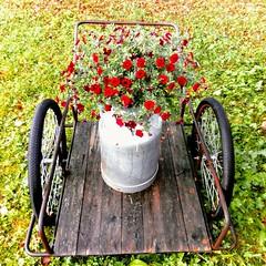 Kukkaiskärryt.  Flowers.  #Sivakka #Sivakkavaara #maaseutu #maitokärryt #petunia #kukat #red #flowers  #countryside #summer (ylapihantila) Tags: summer kukat red sivakka countryside maaseutu maitokärryt petunia flowers sivakkavaara