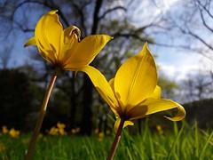 20180416-001F (m-klueber.de) Tags: 20180416001f 20180416 2018 mkbildkatalog mainfranken unterfranken würzburg liliaceae liliengewächse tulipa sylvestris weinbergstulpe wildtulpe wilde tulpe