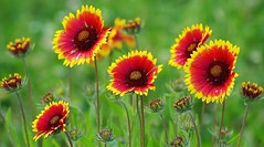 Gaillardes (mamietherese1) Tags: wonderfulworldofflowers world100f fantasticnature earthmarvels50earthfaves