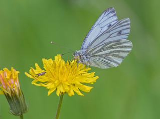 DSC9363  Green veined White..