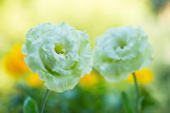lisianthus 4582 (junjiaoyama) Tags: japan flower lisianthus plant spring green bokeh macro