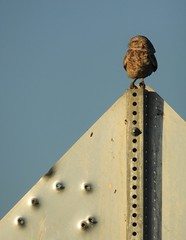 Burrowing owl on a road sign. (Ruby 2417) Tags: burrowing owl rare rarity bird wildlife nature davis yolo bullet hole sign