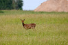 Appearance near the runway (jeangrgoire_marin) Tags: roe deer animal wildlife faune fauna chevreuil nature animaux