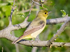 Female Scarlet Tanager (tresed47) Tags: 2018 201805may 20180521njoceancitybirds birds canon7d content folder may newjersey oceancity peterscamera petersphotos places season spring takenby tanager us