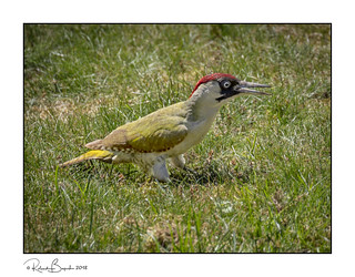 Green woodpecker f (Picus viridis) a rare treat to see in the garden